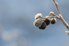 Svart fläder med frost Arkivbild