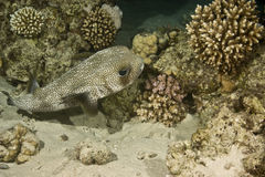 svart flammig diodonliturosusporcupinefish Arkivbild