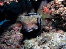 Svart-flammig Porcupinefish arkivbilder