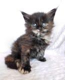 Svart fluffig kattunge Royaltyfri Fotografi
