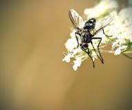svart fluga Arkivfoto