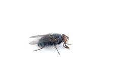 svart fluga Arkivbilder