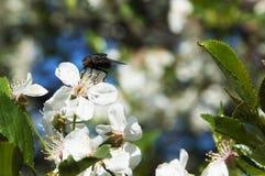 Svart fluga på en vit blomma Fotografering för Bildbyråer
