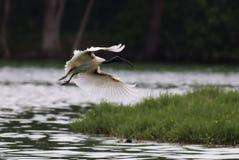 svart flyg hövdade ibis Royaltyfri Bild