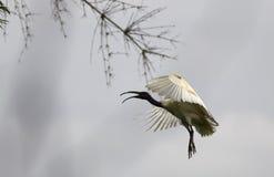 svart flyg hövdade ibis Royaltyfria Foton