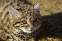 Svart Footed katt (felisnigripes) Arkivfoto