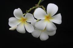 svart frangipani Royaltyfria Foton
