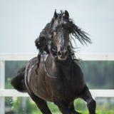 Svart Friesianhäst, portrain i rörelse Royaltyfri Bild