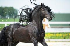 Svart Friesianhäst, portrain i rörelse Arkivfoto
