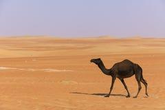 svart gå för kamelökenuae Arkivfoto