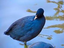 Svart gås som ansar i sjön Royaltyfria Foton