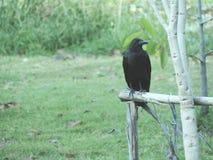 svart galande Royaltyfri Foto