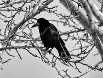 Svart galande med skinande fjädrar på träd för vit björk arkivbild