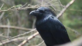 Svart galande som sitter på träd L?s f?gel i natur Stort korpsvart hållande ögonen på territorium lager videofilmer