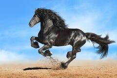 Svart galopp för Friesianhästkörningar Fotografering för Bildbyråer