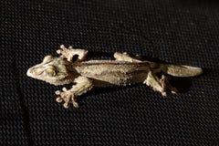 svart gecko Royaltyfri Bild