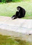 svart gibbon royaltyfri foto
