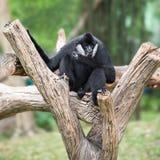 svart gibbon Arkivfoton