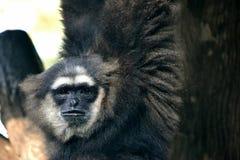 svart gibbon Arkivfoto