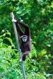 Svart Gibbon i zoo Arkivbild