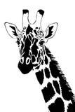 svart giraffwhite Arkivfoto