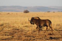 Svart gnu i Afrika Royaltyfri Fotografi