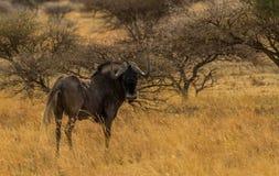 Svart gnu på slättarna av Afrika royaltyfria foton