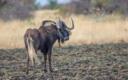 Svart gnu på slättarna av Afrika arkivbilder