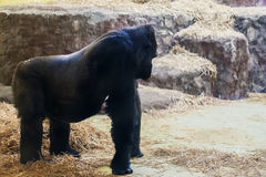 Svart gorilla på fyra ben och armar Royaltyfria Bilder