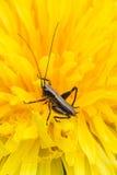 svart gräshoppa Royaltyfri Fotografi