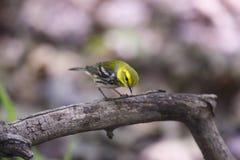 svart grön throated sångare arkivfoton