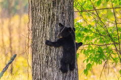 svart gröngöling för björn royaltyfri bild