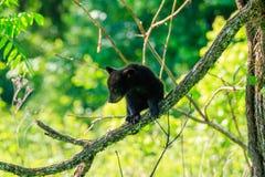 svart gröngöling för björn Arkivbilder