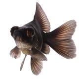 svart guldfisk Royaltyfri Foto