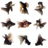 Svart guldfisk Fotografering för Bildbyråer