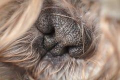 Svart gullig mycket liten näsa av en päls- älsklings- hund arkivfoton