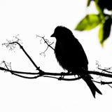 Svart hämplingfågel på filialsiluette Royaltyfri Bild