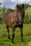 Svart häst Royaltyfri Foto