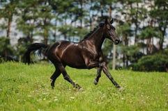 Svart häst Royaltyfri Bild