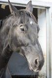 svart häst Arkivfoto