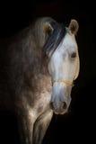 svart häst för bakgrund Arkivfoto