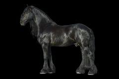 Svart häst för Friesian som isoleras på svarten Royaltyfria Foton