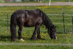 svart häst för frisian royaltyfri fotografi