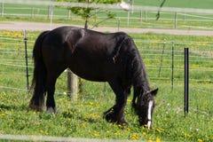 svart häst för frisian royaltyfri bild