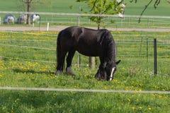 svart häst för frisian arkivbild