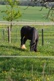 svart häst för frisian royaltyfria foton