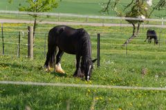 svart häst för frisian arkivbilder