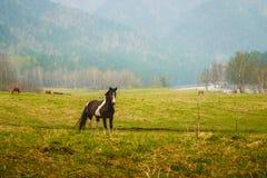 Svart häst i ängen Royaltyfri Bild