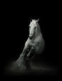 Svart häst i sätta in Arkivfoto