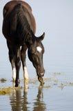 Svart häst i vatten Arkivfoto